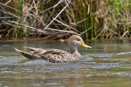 Yellow-billed Pintail Picture @ Kiwifoto.com