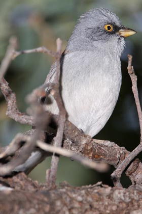 Yellow-eyed Junco Picture @ Kiwifoto.com