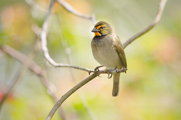 Yellow-faced Grassquit Image @ Kiwifoto.com