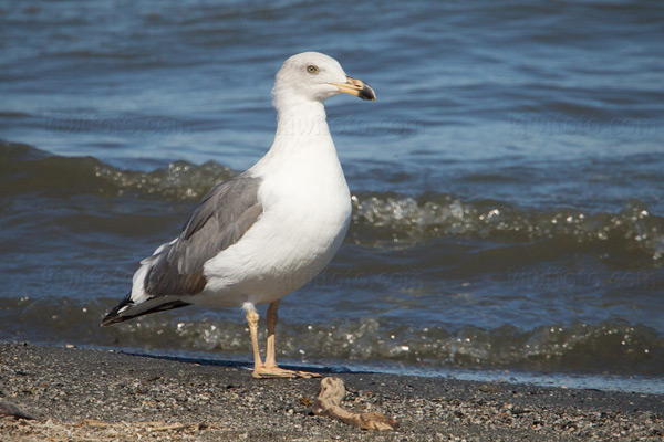 Yellow-footed Gull (2nd cycle)