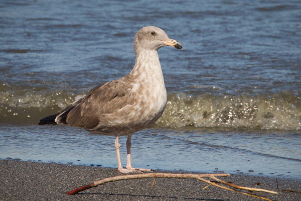 Yellow-footed Gull (1st cycle)