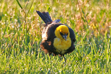 Yellow-headed Blackbird Image @ Kiwifoto.com