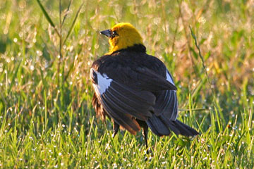 Yellow-headed Blackbird Picture @ Kiwifoto.com