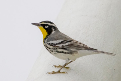 Yellow-throated Warbler Picture @ Kiwifoto.com