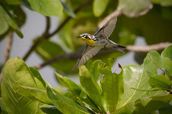 Yellow-throated Warbler Photo @ Kiwifoto.com