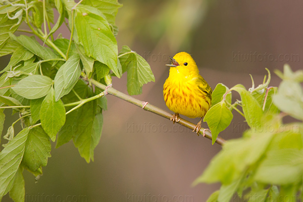 Yellow Warbler, Magee Marsh, Ohio
