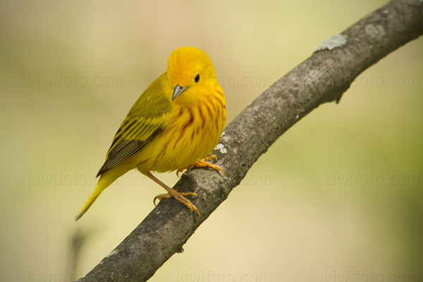 Yellow Warbler, Crane Creek, Ohio