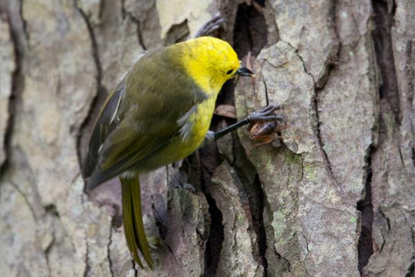 Yellowhead Mohua @ Stewart Island, South New Zealand