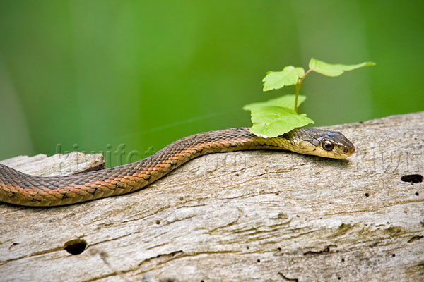 Garter Snake, Crane Creek, Ohio