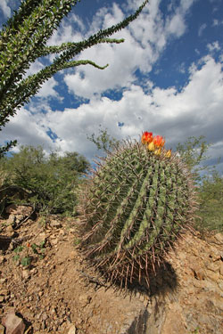 Sonoran Barrel Cactus