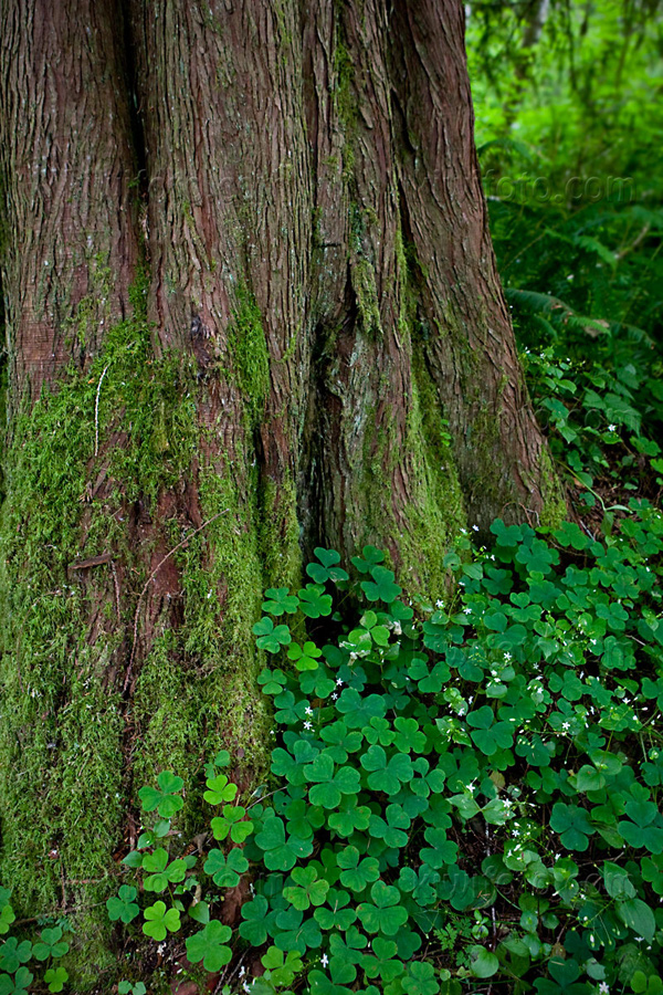 Tree with Clovers