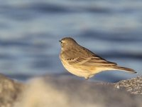 American Pipit Video