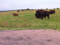 American Bison Video