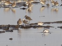 Spoon-billed Sandpiper (two) Video