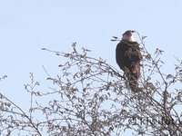 Crested Caracara Video