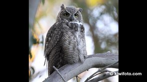 Great Horned Owl Video